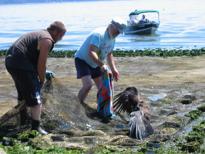 Juvenile bald eagle caught in geoduck net on Harstene Island