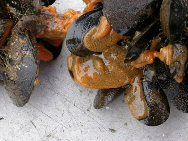 Tunicates on mussels in Gallagher Cove, USGS photo.