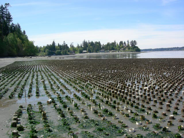 Geoduck farm in Zangle Cove