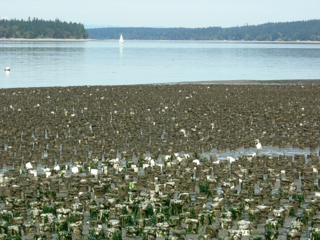 Sailboat and geoduck farm in Zangle Cove 2006