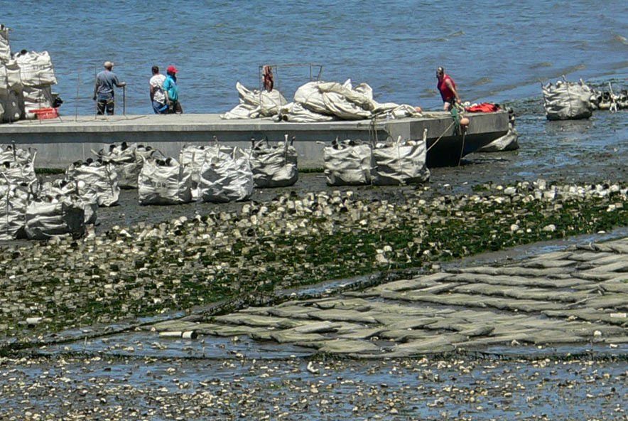 Geoduck and oyster farms on Totten Inlet June 27, 2006.
